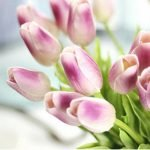 light purple Tulips